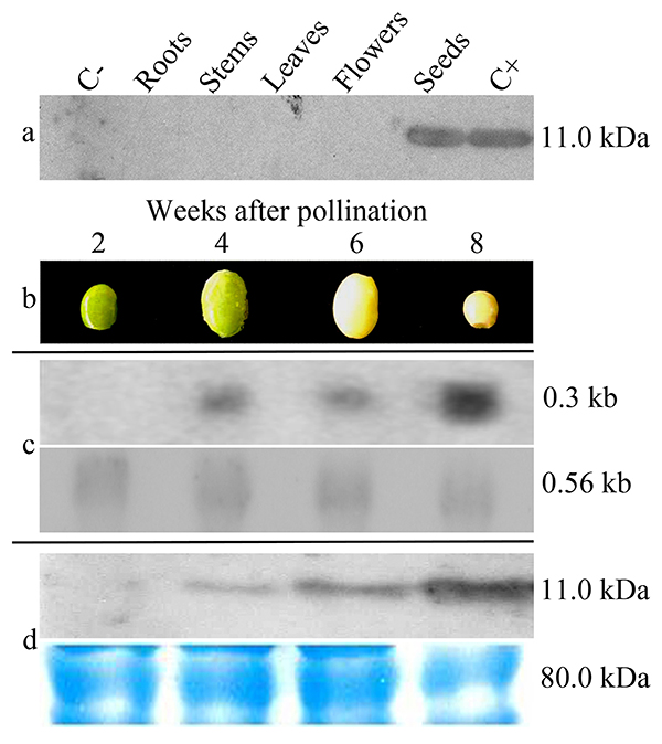 The efficiency of the alpha'-subunit of beta-conglycinin promoter to restrict the transgene expression to the transgenic seeds was evaluated by organ-specific western blot analysis. Source: O'Keefe et al.