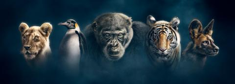 """Banner image for the BBC documentary """"Dynasties"""""""