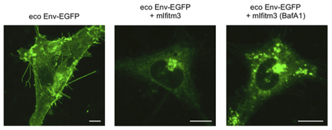 Three images of glowing green cells. The one on the left shows the most green, while the ones in the middle and on the right show significantly less green.