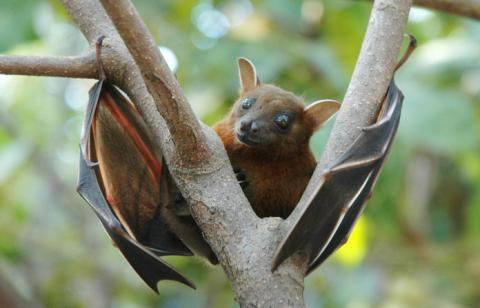 A fruit bat